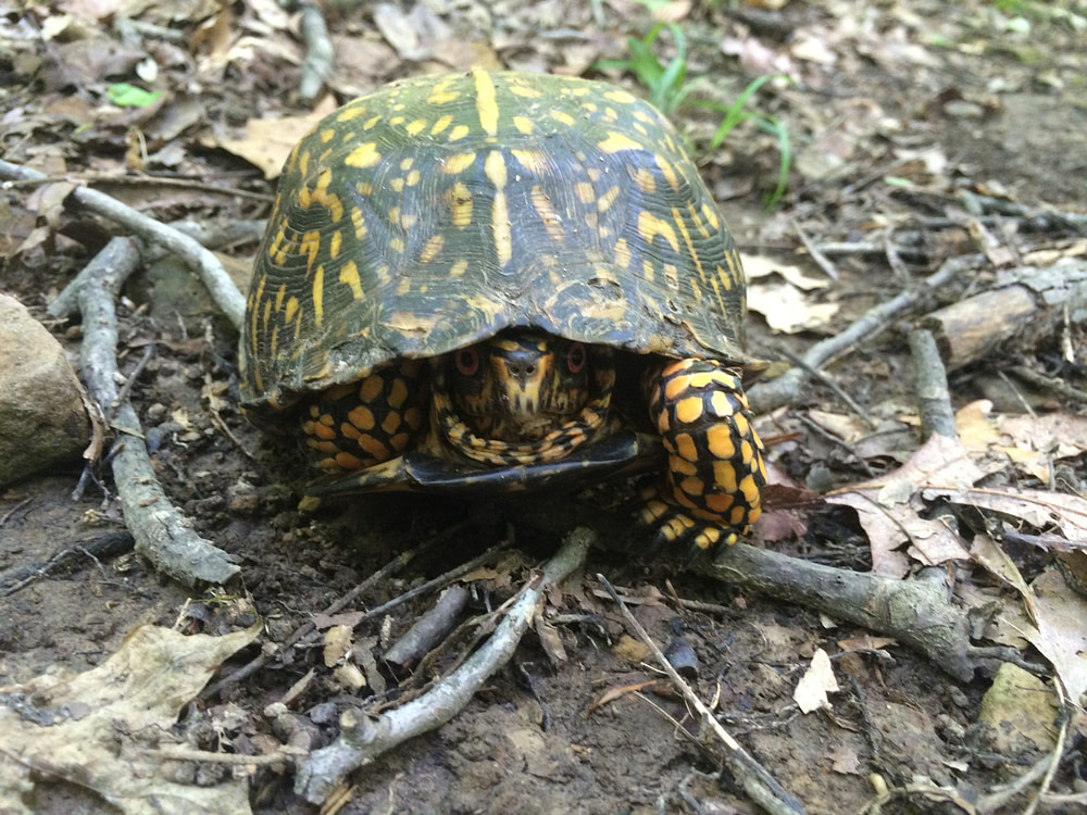 box turtle in the forest